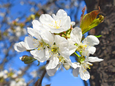 Flowering cherry in orchard, inflorescences close-up. Spring time. Imagens