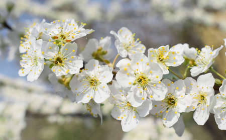 Flowering branch of cherry plum on a blurry background of the orchard. Spring time.
