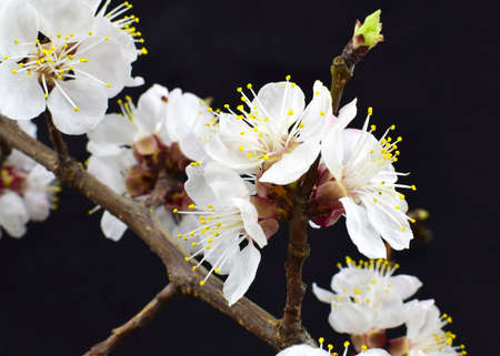 Flowering apricot tree branch close-up isolated on a black background. Imagens