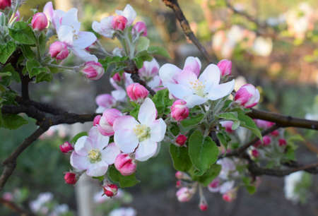 Blooming apple tree in spring time. Beautiful white and pink apple tree flowers in garden. Spring time.