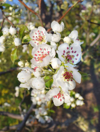 Beautiful white flowers on a pear tree branch. A mature fruiting spur. Spring flowering orchard.