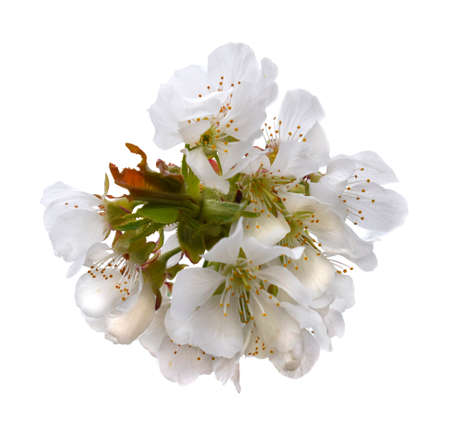 Cherry blossoms. A mature fruiting spur isolated on white background.