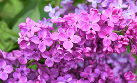 Lilac flowers close-up in a spring garden. Abstract floral background. Stockfoto