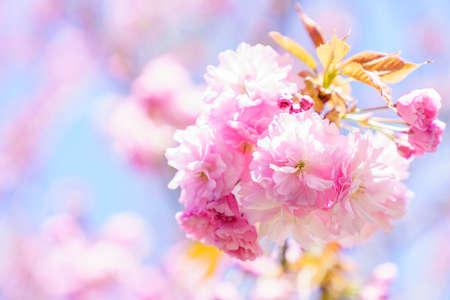 Beautiful cherry blossom 'sakura' in spring time Archivio Fotografico