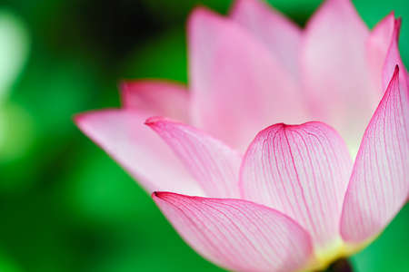 lotus flower blooming in summer pond with green leaves as background Imagens