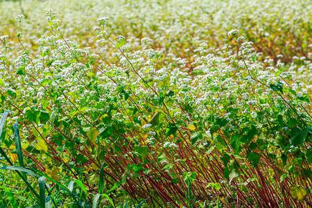 Buckwheat flower on the field