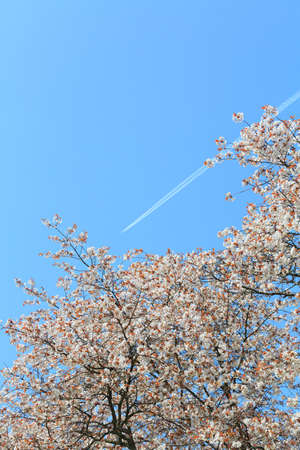 Beautiful cherry blossom 'sakura' in spring time
