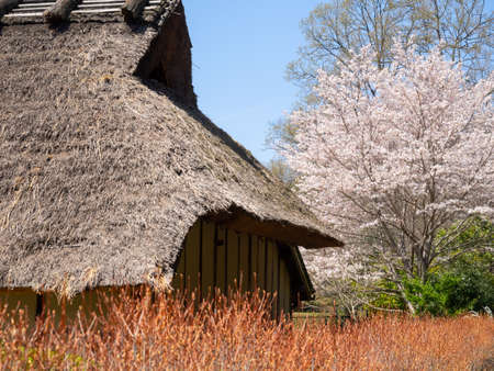 Cherry blossoms and Japanese old houses 免版税图像