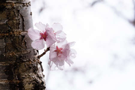 Sakura wet in the rain, Yoshino cherry tree