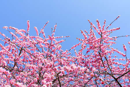 Plum blossoms blooming in Japanese garden