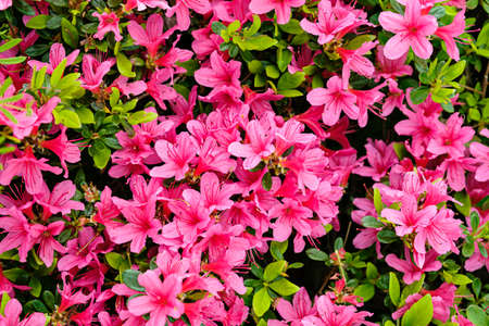 Azalea flowers in bloom. Close-up on a bouquet of flowering Azalea in natural environment.