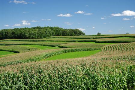 stripping: Contorno de la Faja de agricultura: Filas de ma�z alternando con tiras de grano peque�o o heno siguen los contornos de la ladera de una colina en el sur de Wisconsin.