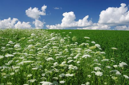 "field of flowers: Queen Annes Lace: A field of Queen Anne's lace (Daucus carota), also known as ""wild carrot"", ""bird's nest"" and ""bishop's lace"", grows in southern Wisconsin. Stock Photo"