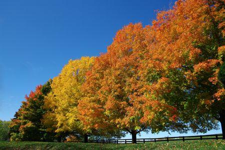 色の秋の木: カエデの木の行は、バージニア州北部で 10 月晴れたに秋の色のスペクトルを示します。