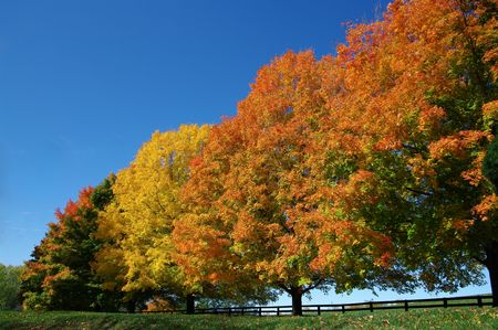 Bomen in Fall Colors: een rij van maple bomen toont een spectrum van kleuren van de herfst op een zonnige dag van oktober in het noorden van Virginia.