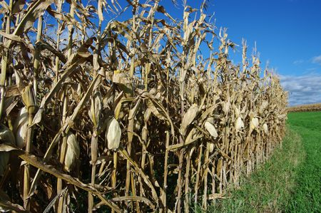 Corn at Harvest Time: Rows of corn await harvest under September skies in Southern Wisconsin. Stock Photo