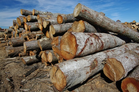 wood cutter:  Logs at a Sawmill: Logs stacked high in long rows await cutting and finishing at a Virginia saw mill. Stock Photo