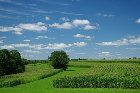 Cornfields in July: Cornstalks have grown almost to their full height by the end of July in southern Wisconsin. Stock Photo