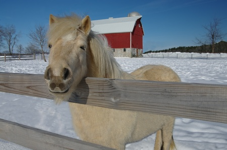 Horse Farm in Winter:  A white pony peers over the fence from a snowy barnyard. photo
