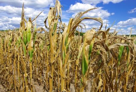 drought: Sequ�a da�ado Cornfield: mal tallos de ma�z desarrollados muestran los efectos de la prolongada clima caliente y seco en una granja en el sur de Wisconsin.