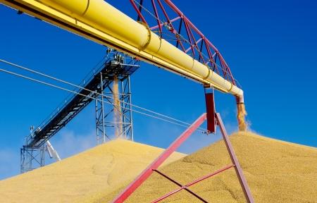 옥수수를 하역 : 최근에 수확 된 옥수수는 서부 미네소타 곡물 저장 시설에서 큰 더미에 넣는다.
