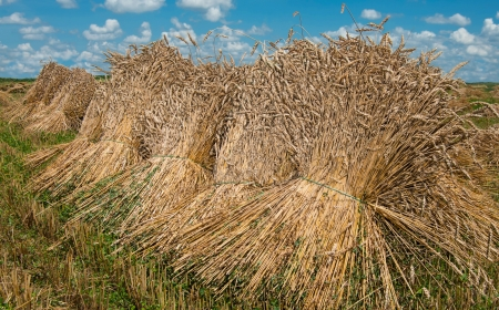 Sheaves of Wheat   Bundles of wheat stalks dry in the afternoon sun on a farm in southern Pennsylvania  photo