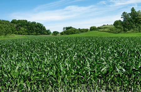 Corn Fields on the Fourth of July:  Corn stalks reach a height of 3-4 feet in early July on a small farm in southern Wisconsin. Stock Photo
