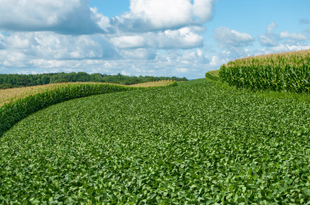 Soybean and Corn Crops:  Alternating contour strips of soybeans and corn protect against erosion and soil depletion on a farm in southern Wisconsin. Stock Photo