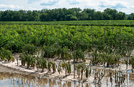Flood Damaged Tomato Crop  Description:  Tomato plants wither and die due to flooding on a farm in upstate New York. Stock Photo