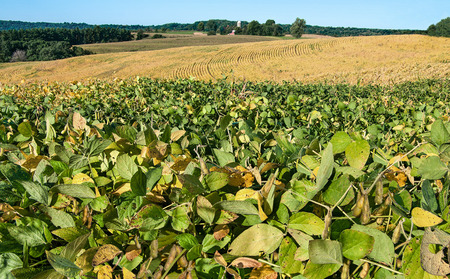 Bean Fields in September:  Soy bean leaves begin to show fall colors in late summer on a farm in southern Wisconsin.