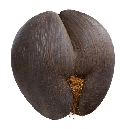 uncommon: Seychelles sea s coconut  coco de mer
