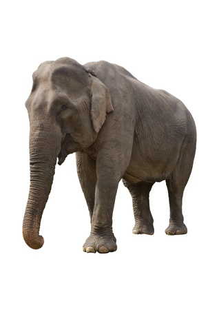 Isolated gray elephant photo