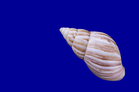 small cockleshell on the isolated blue background