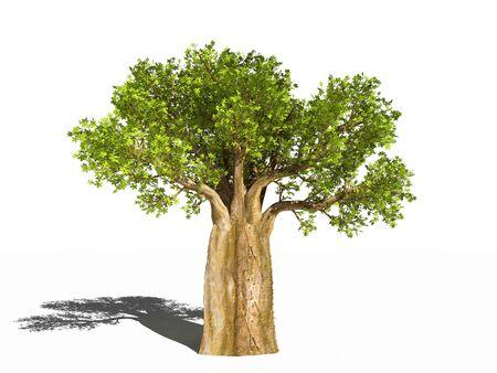 Adansonia digitata. Le baobab Banque d'images