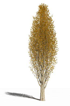 Italian poplar in the autumn Stock fotó