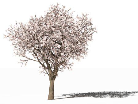 L'abricotier en fleurs (Prunus armeniaca) Banque d'images
