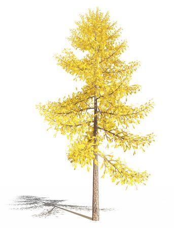 European larch in autumn