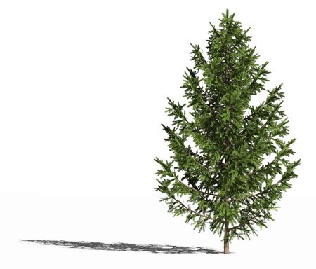 Picea abies or european spruce or Norway spruce