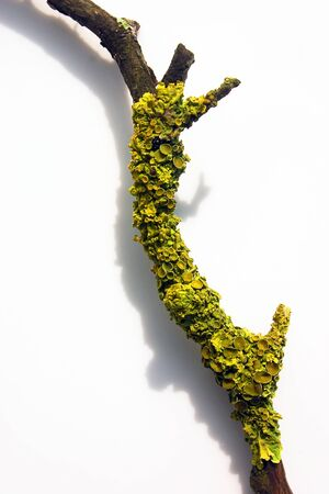 A dry branch with green moss lies on a white surface Stok Fotoğraf