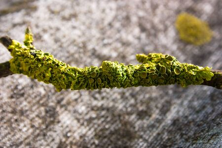 A dry branch with green moss