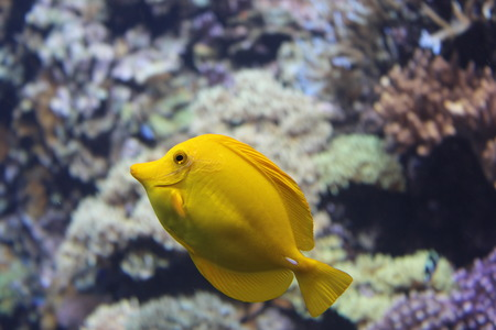 surgeonfish: yellow tang Stock Photo