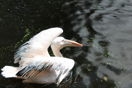 great white pelican: great white pelican on the water