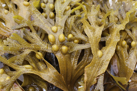 algas marinas: alga negra (Fucus vesiculosus) Foto de archivo