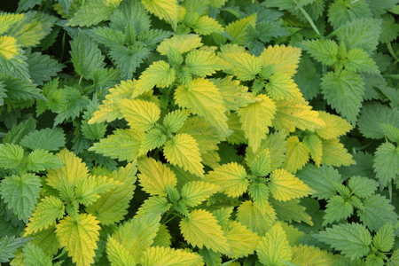urtica dioica: common nettle plant (Urtica dioica)