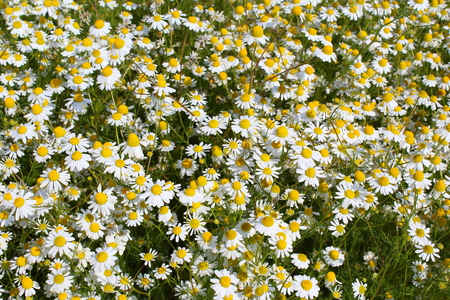 herbalism: field with chamomile plants (Matricaria chamomilla) in flower Stock Photo