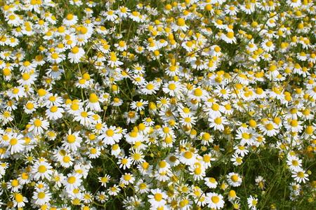 chamomilla: field with chamomile plants (Matricaria chamomilla) in flower Stock Photo