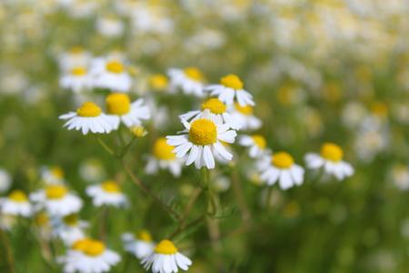 field with chamomile plants (Matricaria chamomilla) in flower Stock Photo