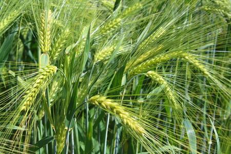 field of barley with some barley ears