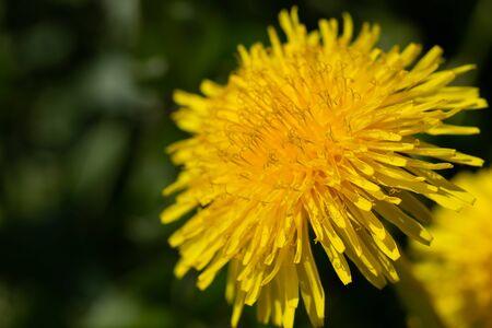 common dandelion (Taraxacum officinale) flower closeup selective focus