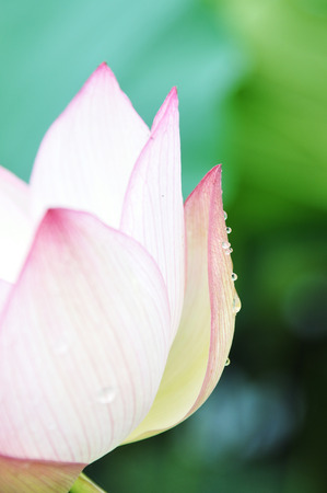 lotus petal: Shizuku went to the Lotus petal